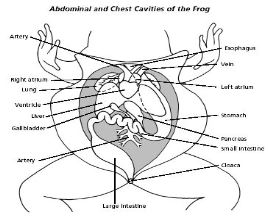 Frog body cavity diagram with labels diy wiring diagrams frog body cavity diagram with labels images gallery ccuart Gallery
