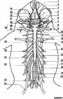 Dissection Info moreover 18 as well Horse Long Bone Diagram in addition Yellow Banded poison dart frog moreover File Anatomy and physiology of animals Thyroid  26 parathyroid glands. on frog external anatomy